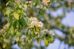 Beautiful apple blossom Royalty Free Stock Photos