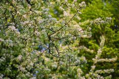 Beautiful apple blossom Royalty Free Stock Images