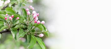Beautiful apple blossom springtime sunny day garden landscape. Blossoming pink petals fruit tree branch, tender blurred royalty free stock photo