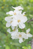 Beautiful apple blossom on the tree Royalty Free Stock Images