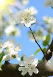 Beautiful apple blossoms against the sky on a sunny day in sprin Royalty Free Stock Photography