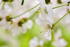 Beautiful apple flowers Royalty Free Stock Images