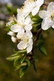 Beautiful apple flowers Stock Photo