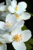 Beautiful apple flowers Stock Image