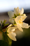 Beautiful apple flowers Royalty Free Stock Photography