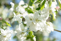 Beautiful apple flowers on blurred background with blue sky in natural warm colors. Apple tree Royalty Free Stock Image