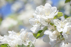 Beautiful apple flowers on blurred background with blue sky in natural warm colors. Apple tree Stock Image
