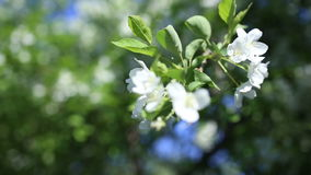 Beautiful apple tree against the blue sky stock video