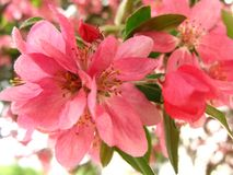 Beautiful apple tree bloom in orchard stock photography