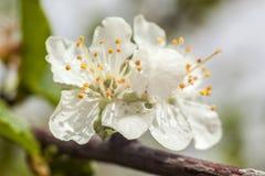 Beautiful apple tree blooming Stock Photos