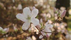Beautiful apple tree branch stock video