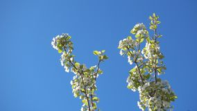 Beautiful apple tree branches with flowers and clear blue sky. Beautiful apple tree branches with flowers and clear blue sky, 4k qualitative video stock footage