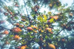 Beautiful apple tree royalty free stock photography