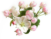 Beautiful apple tree flowers Royalty Free Stock Photo