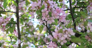 Beautiful apple tree flowers blooming. Blossom blooming on tree in springtime. Spring tree blossom flowers with pink and red petal stock video