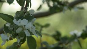 Beautiful apple tree flowers changing focus video. Beautiful white apple tree flowers changing focus video on a summer day stock video