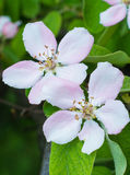 Beautiful apple tree flowers closeup. Beautiful apple tree flowers in the forest closeup Royalty Free Stock Image