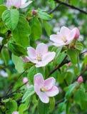 Beautiful apple tree flowers closeup. Beautiful apple tree flowers in the forest closeup Royalty Free Stock Images