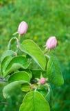 Beautiful apple tree flowers closeup. Beautiful apple tree flowers in the forest closeup Stock Images
