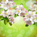 Beautiful apple tree flowers. Spring blossoming background. Young foliage. stock image