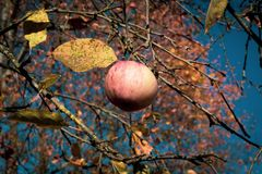 Beautiful apple on a tree royalty free stock photo