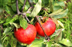 Beautiful ripe red apples on the branch Stock Photo