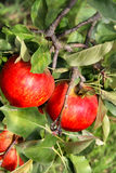 Beautiful ripe red apples on the branch Stock Image