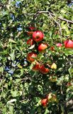 Beautiful ripe red apples on the branch Royalty Free Stock Photography