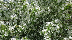 Beautiful apple tree with white flowers. Spring flowering stock footage