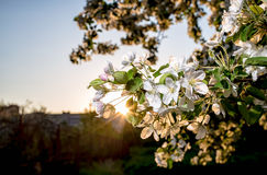 Beautiful of apple trees flowers in the sunset warm spring evening. Beautiful flowers of apple trees in the rays of of the setting sun warm spring evening stock images