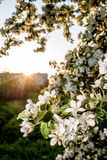 Beautiful of apple trees flowers in the sunset warm spring evening. Beautiful flowers of apple trees in the rays of of the setting sun warm spring evening stock photo