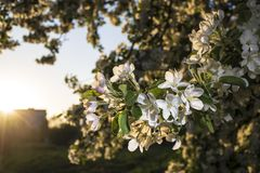 Beautiful of apple trees flowers in the sunset warm spring evening. Beautiful flowers of apple trees in the rays of of the setting sun warm spring evening royalty free stock photography