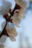 Beautiful apricot blossom Royalty Free Stock Photo