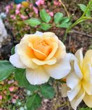 Apricot coloured Rose Royalty Free Stock Photography