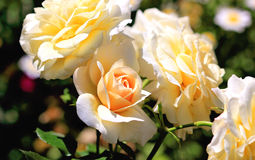 Beautiful apricot coloured roses Stock Photo
