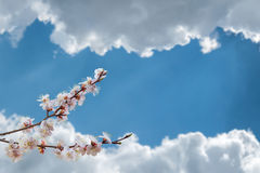Beautiful Apricot Flowers Stock Images