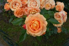 Beautiful apricot rose Dolce Vita. Yellow-orange to apricot colored rose - Dolce Vita with dark-green leaves Royalty Free Stock Photography