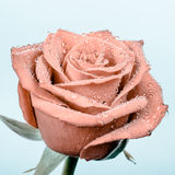 Beautiful apricot rose with water drops Royalty Free Stock Photos