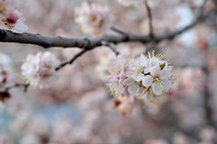 Beautiful apricot tree bloom in April Stock Image