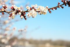Beautiful apricot tree branch with tiny tender flowers against blue sky. Awesome spring blossom. Beautiful apricot tree branch with tiny tender flowers against stock images