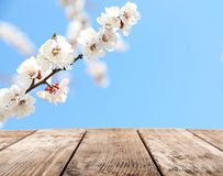 Beautiful apricot tree branch with tiny tender flowers against blue sky, space for text. Awesome spring blossom stock images