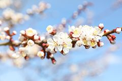 Beautiful apricot tree branch with tiny tender flowers outdoors. Awesome spring blossom. Beautiful apricot tree branch with tiny tender flowers outdoors, closeup stock image