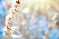 Beautiful apricot tree branch with tiny tender flowers outdoors. Awesome spring blossom. Beautiful apricot tree branch with tiny tender flowers outdoors, space stock image