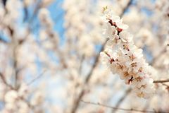 Beautiful apricot tree branches with tiny tender flowers outdoors. Awesome spring blossom. Beautiful apricot tree branches with tiny tender flowers outdoors stock photography