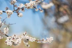 Beautiful Apricot White Flowers Royalty Free Stock Images