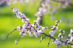 Beautiful Apricot White Flowers Stock Photos