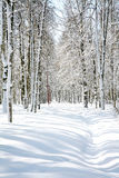 Beautiful April Birch Grove Royalty Free Stock Images