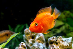 Beautiful aquarium decorative orange parrot fish Royalty Free Stock Photo
