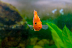 Beautiful aquarium decorative orange parrot fish Royalty Free Stock Photos