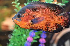 Beautiful aquarium fish Stock Photography